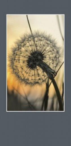 10erSet PC-Ewigkeitskarte Meine Trauer, Fotomotiv Pusteblume