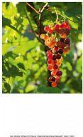 Einlegeblatt Weinstock